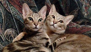 Родители кошки сококе